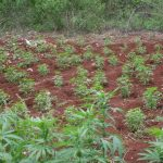 Accompong Town Colonel blasts CLA fencing rules for ganja farms