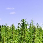Hemp Seeds | Hemp Seed Benefits and Uses