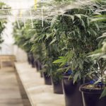 Cannabis producer Canopy downsizes Latin America workforce as region struggles to generate revenue