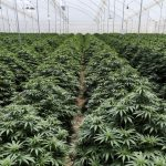 Will Colombia's overhaul of cannabis industry rules resuscitate the promising sector?